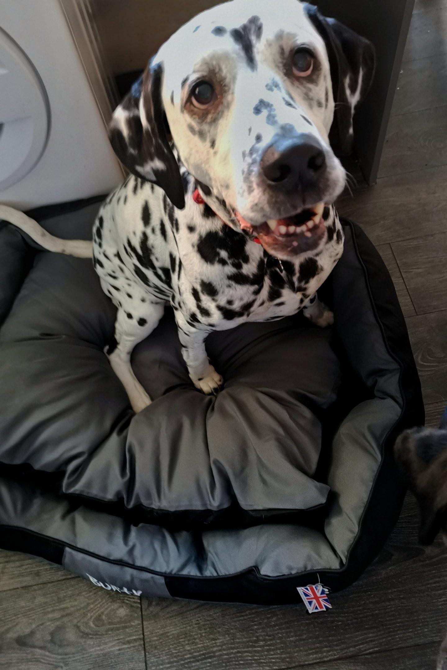 Dalmatian-ALC-Injury-Care_Bunty