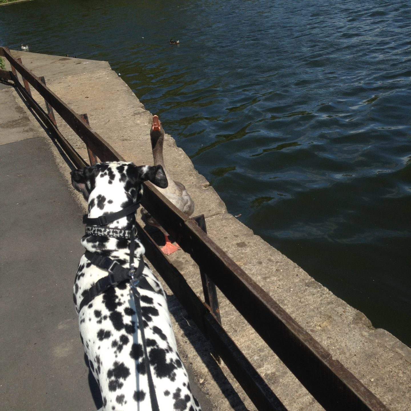dog-friendly-parks-geese